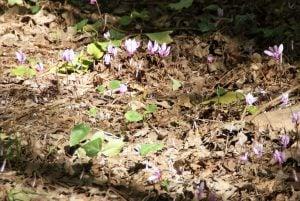 Wilde Veilchen Nationalpark Krka Kroatien