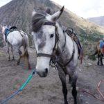 Indonesische Pferde